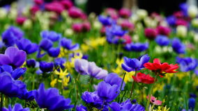 Frühlingsblumen: ein Teppich von blauen annemonae mit den roten, weißen, gelben und purpurroten Akzenten lizenzfreie stockbilder