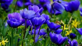 Frühlingsblumen: ein Teppich von blauen annemonae mit gelben Akzenten Stockfotos