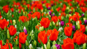 Frühlingsblumen: ein Teppich von roten Tulpen mit den weißen und purpurroten Akzenten lizenzfreies stockbild