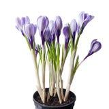 Frühlingsblumen in einem Topf Stockfotos