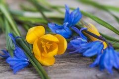 Frühlingsblumen: gelber Krokus und blaue sibirische Hyazinthe auf woode Stockbild