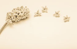 Frühlingsblumen - hiacinth Lizenzfreie Stockfotografie