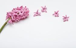 Frühlingsblumen - hiacinth rosa Farbe Stockfotografie