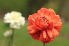 Frühlingsblumen im Regen Stockbild
