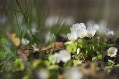 Frühlingsblumen im Wald Stockfotografie