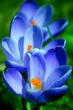 Frühlingsblumen - Krokus Lizenzfreies Stockbild