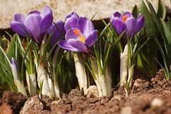 Frühlingsblumen - Krokus Stockfoto