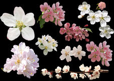 Frühlingsblumen lokalisiert auf schwarzem Hintergrund Blüten von Apfel t Lizenzfreie Stockfotos