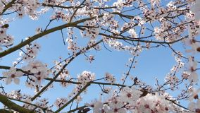 Frühlingsblumen mit blauem Hintergrund stock video