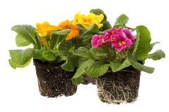 Frühlingsblumen mit Wurzelsystem Stockfotografie