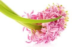 Frühlingsblumen. rosafarbene Hyazinthe Lizenzfreie Stockfotos