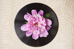 Frühlingsblumen-Rosapfingstrose auf schwarzer Vinylaufzeichnung Stockbild