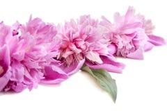 Frühlingsblumen-Rosapfingstrose mit Wasser fällt auf es Lizenzfreie Stockbilder