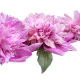 Frühlingsblumen-Rosapfingstrose mit Wasser fällt auf es Stockbild