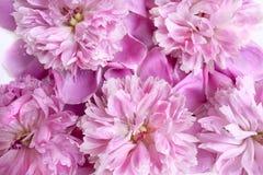 Frühlingsblumen-Rosapfingstrose mit Wasser fällt auf es Stockbilder