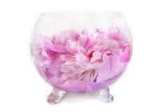 Frühlingsblumen-Rosapfingstrose mit Wasser fällt in Vase auf ihm Lizenzfreies Stockfoto