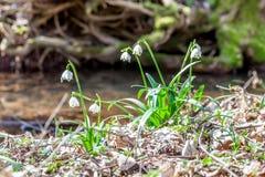 Frühlingsblumen, Schneeflocke Stockbild