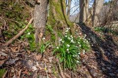 Frühlingsblumen, Schneeflocke Stockfoto