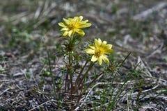 Frühlingsblumen von Adonis Adonis-vernalis Stockbilder