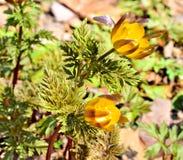 Frühlingsblumen von Adonis in der Sonne Lizenzfreie Stockfotografie