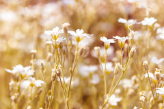 Frühlingsblumen-Weißfarbe Stockfoto