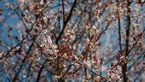 Frühlingsblumenbaum in der Blüte stock footage