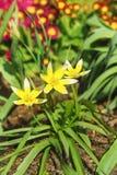 Frühlingsblumenbeet mit dem Blühen späten Tulpe Lat Tulpe dasystemon tarda Stapf auf dem Hintergrund des Rotes blüht die gemeine  Lizenzfreie Stockbilder