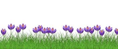 Frühlingsblumengrenze mit hellen purpurroten Krokussen auf dem frischen grünen Gras lokalisiert auf weißem Hintergrund Lizenzfreies Stockbild