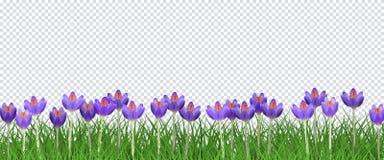 Frühlingsblumengrenze mit hellen purpurroten Krokussen auf frischem grünem Gras auf transparentem Hintergrund Lizenzfreie Stockbilder