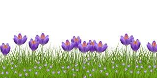 Frühlingsblumengrenze mit hellen purpurroten Krokussen und kleinen blauen wilden Blumen auf frischem grünem Gras Stockbild