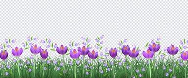 Frühlingsblumengrenze mit hellen purpurroten Krokussen und kleinen blauen wilden Blumen auf grünem Gras auf transparentem Hinterg Stockbilder