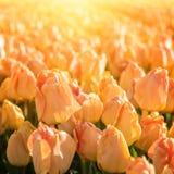Frühlingsblumenhintergrund, blühende gelbe Tulpe im Sonnenlicht stockbild