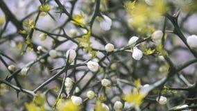 Frühlingsblumenknospen und -niederlassungen auf einem undeutlichen Hintergrund stockfotos