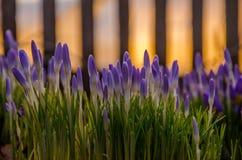 Frühlingsblumenpurpur Blühen im Garten die Krokusse stockbilder