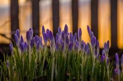 Frühlingsblumenpurpur Blühen im Garten die Krokusse lizenzfreie stockfotografie