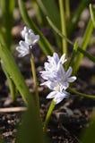 Frühlingsblumenweiß mit blauen Adern an einem sonnigen Tag Lizenzfreie Stockfotografie