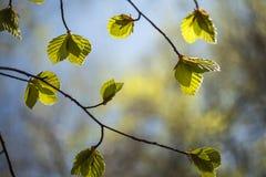 Frühlingsbuche verlässt Fagus Sylvatica Stockfotos