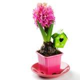 Frühlingseinstellung mit rosa Hyazinthe lizenzfreies stockfoto