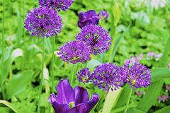 Frühlingsfarbetulpenblumen stockbilder