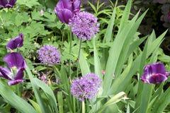 Frühlingsfarbetulpenblumen stockbild