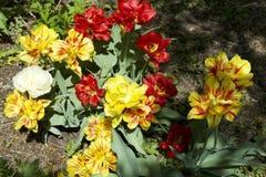 Frühlingsfarbetulpenblumen lizenzfreie stockbilder