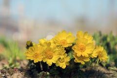 Frühlingsfasan ` s eyeAdonis vernalis Stockbilder