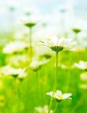 Frühlingsfeld der Gänseblümchen Stockbild