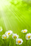 Frühlingsfeld - Gänseblümchen im Gras Stockfotografie