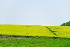 Frühlingsfeld, Landschaft von gelben Blumen, reif lizenzfreie stockfotografie