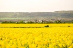 Frühlingsfeld, Landschaft von gelben Blumen, reif stockfotografie