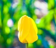 Frühlingsfeld mit blühenden Tulpen Stockbild