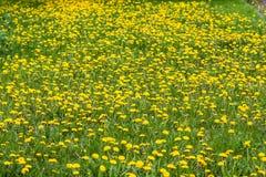 Frühlingsfeld mit Löwenzahn am hellen sonnigen Tag Stockfoto