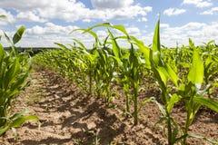 Frühlingsfeld von Mais und von Himmel Stockbild