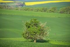 Frühlingsfelder in der Tschechischen Republik und im Großen Baum Stockfotografie
